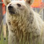 Rescued Bear's Amazing Transformation Story