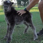 Adorable Miniature Horse