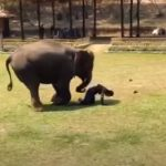 Elephant Comes To Protect his Owner
