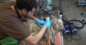 dogs, rescue, story, shave, transformation, animals,
