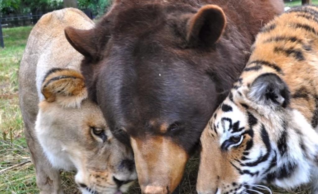 Tiger, Lion, Bear, animals, trending, friendship,