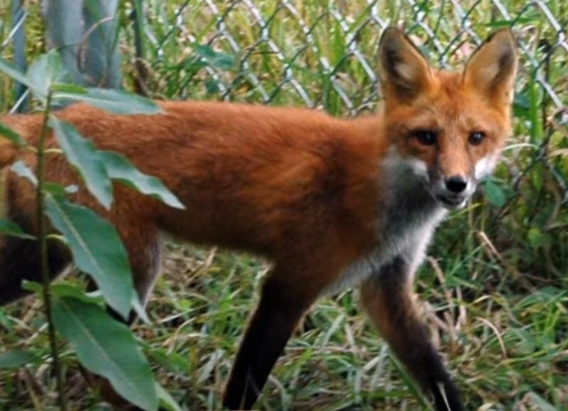 Fox, animals, rescue, accident, roads, cars,