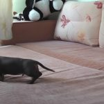 Little Dachshund Enjoy the bed for the first time