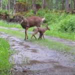 Fawn, Mom, babies, rescue, save life, animals, deer,