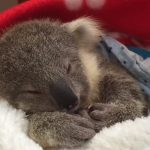 The most adorable Koala of all time