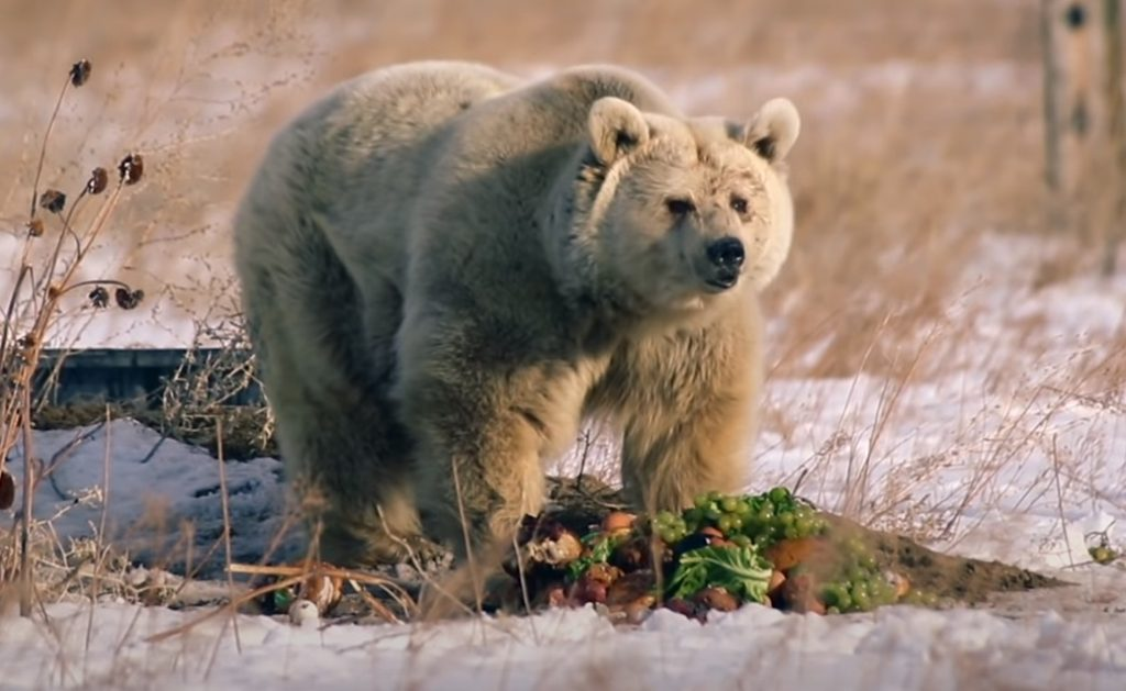 Circus, polar Bear, Wild, Anmials, Story, Rescue,