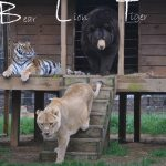 bear, tiger, lion, Friendship, Wild, Rescue Story, Animals,