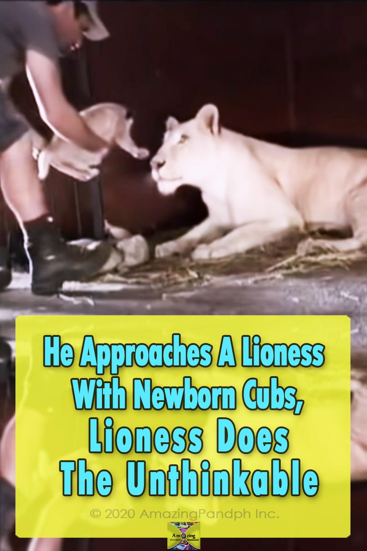 Lioness, lion, Big cat, Baby Cub, Adorable, Animals,