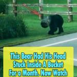 Bear Head Stuck Inside A Bucket For a Month