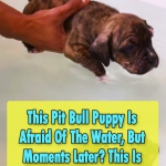 Pitbull Puppy Try to swim for the first time