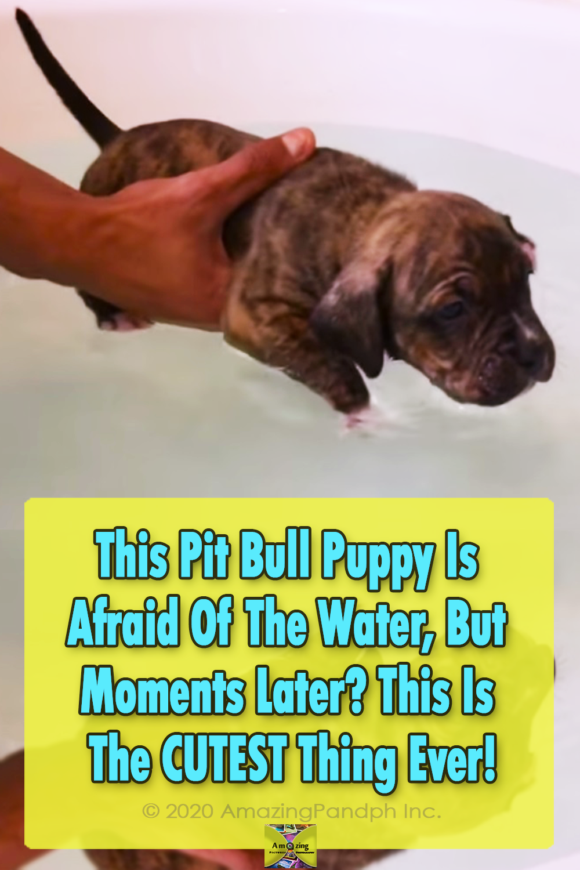 Dogs, Pitbull, Pool, Swim, Adorable, Funny,