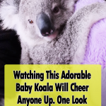 Adorable, Babies, Koala, animals, cute, adoption,