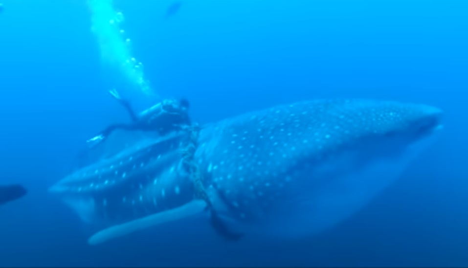 adventure, experience, amazing, diving, whale shark, whale, shark, ocean, deep water, help, save life, rescue,