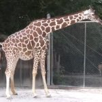Birth of a Baby Giraffe at the Memphis Zoo