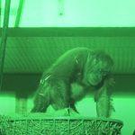 baby, Birth, camera, Durrell, Newjersey, live, orangutan, Sumatra, Wildlife, mother love, footage, rare, amazing, zoo,