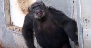 monkey, chimps, apes, wild, rescue, animals, life, new life