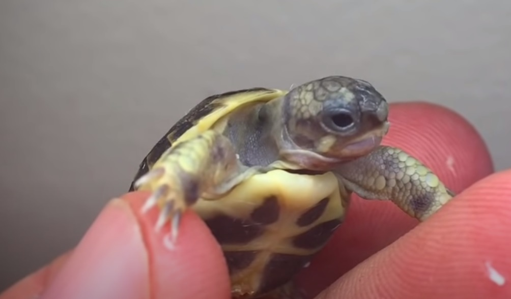 Conjoined, Twins, Tortoise, unbelievable, turtles, Newborn, Story, Save life, Rescue,