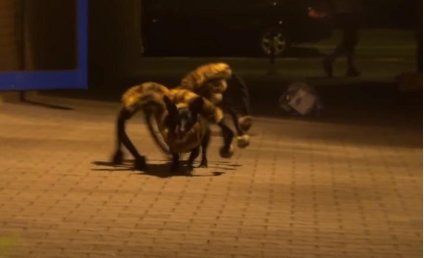 dog, creepy, prank, funny, hilarious, creative, amazing, spider,