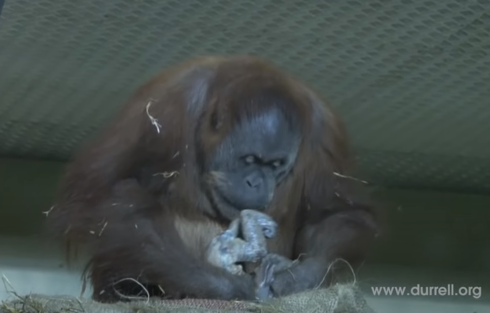 baby, Birth, camera, Durrell, Newjersey, live, orangutan, Sumatra, Wildlife, mother love, footage, rare, amazing, zoo,