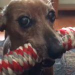Tiny Dachshund wins epic tug-of-war battle