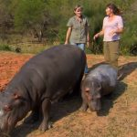 They give a baby Hippo to drink a smoothie