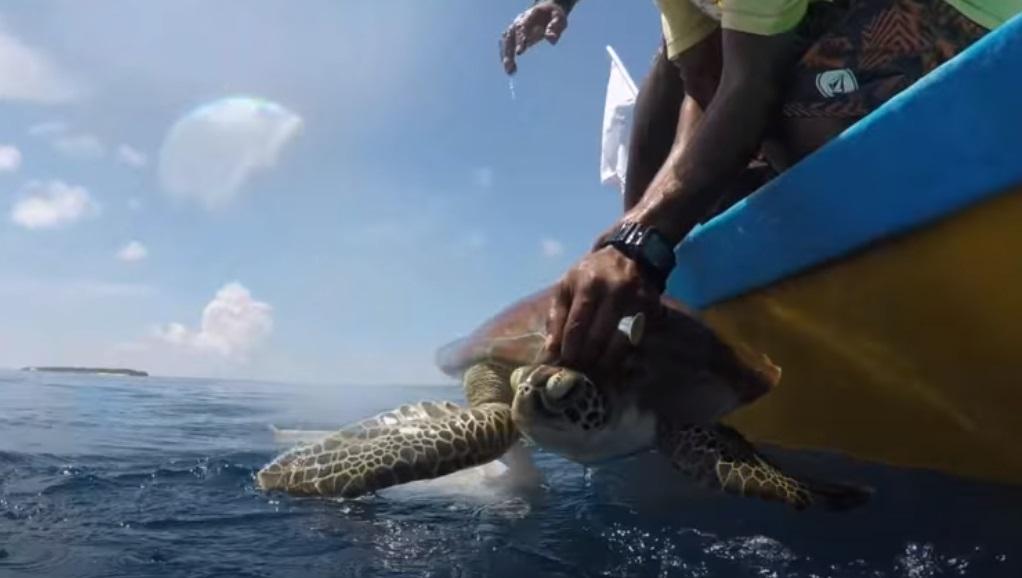 baby, sea, swim, Turtle, rescue, maldives,