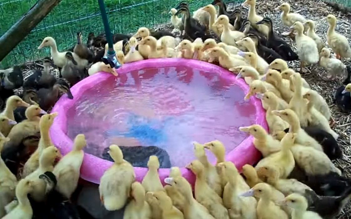 birds, duckling, pool, animals, cool, swimming, nature,