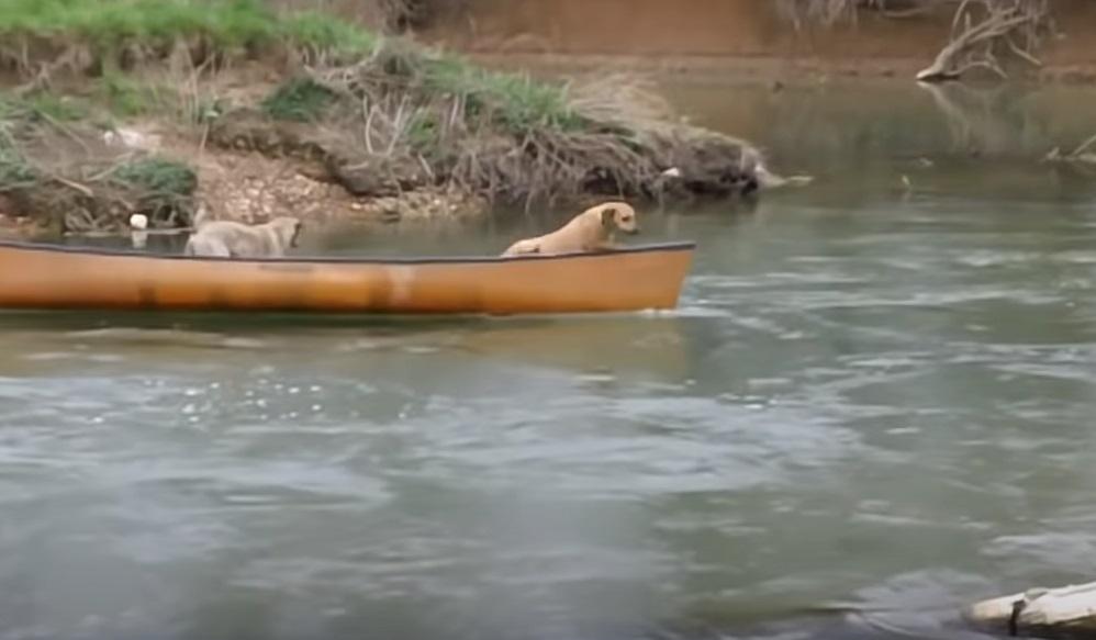 labrador, dogs, rescue, heroic, intelligent, animals, swimming,