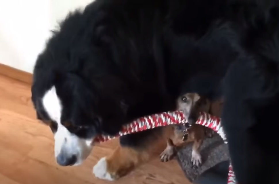 dogs, fun, paw, pets, play, Playing, Puppy, bernese, Dachshund, Mountain dogs,