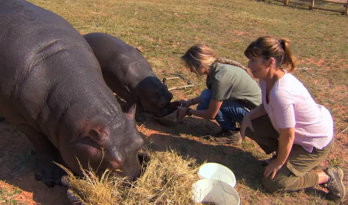 Hippos, nature, animals, wildlife, babies, Africa, adorable,