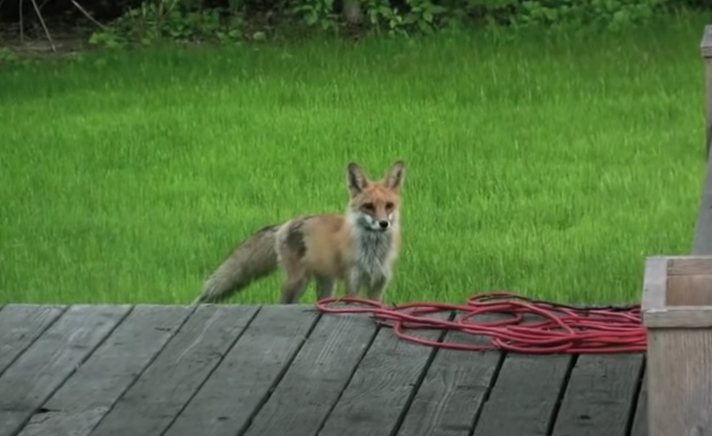 screaming, fox, wild, friends, dogs, animals, backyard, house, scary,