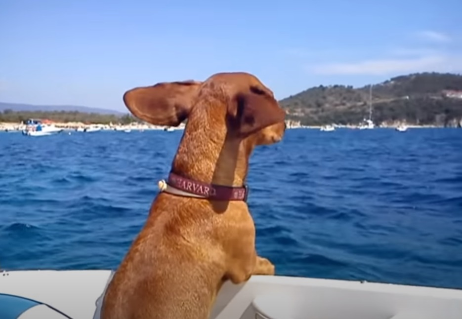 Dogs, Dachshund, holiday, boat, sea, yacht, Hilarious,