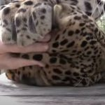 A Gentel morning massage to a Leopard