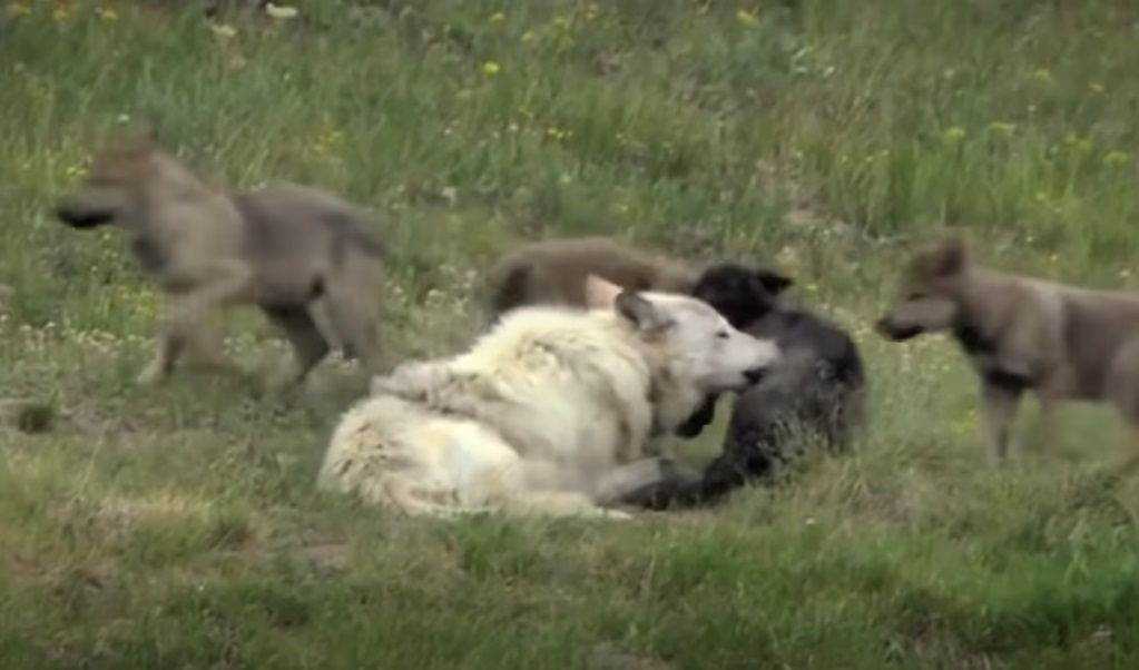 animals, Yellow Stone Park, Canada, Wolves, Nature, Documentary, wild-life, green-white-pink-text,