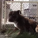 Homeless Pit Bulls should only be adopted together