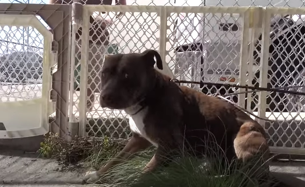 pit, pitbull, dogs, rescue, hope for paw, homeless dogs, adoption, friends,