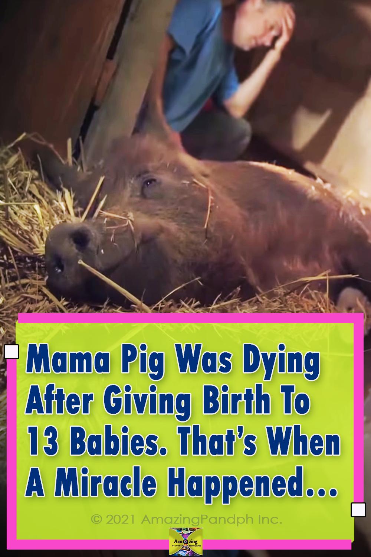 Piglets, pork, meat, farm, babies, birth, miracle, pig,