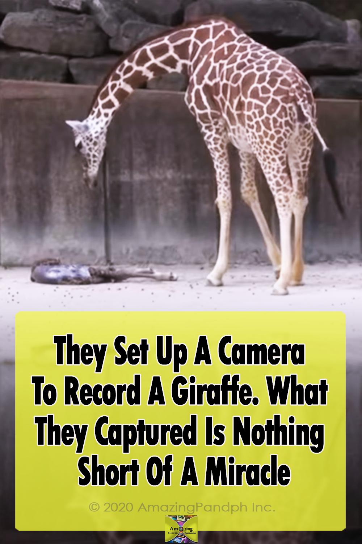 Camera, animals, Giraffe, Miracle, newborn, Record, adorable, baby, zoo,