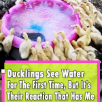 Ducklings Swimming In Their New Pool For The First Time