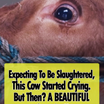 Emma the Crying Cow