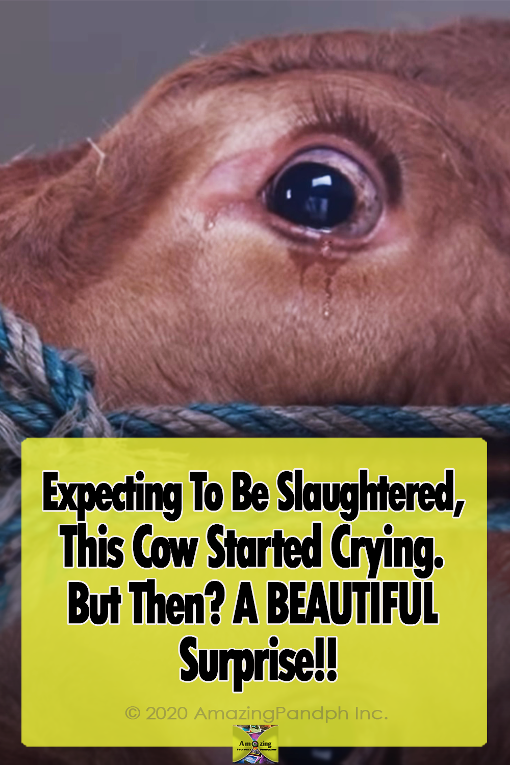 Cow, Crying, touching, unbelievable, Animals, Farm, Story,