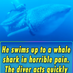 He swims up to a whale shark in horrible pain. The diver acts quickly to save its life