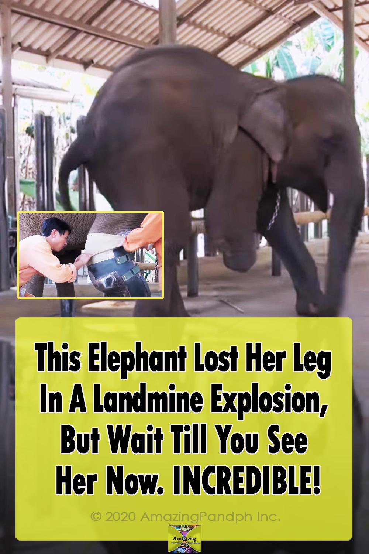 Elephant, Leg, Landmine, Explosion, accident, injured, Mammals, Thailand, Asia,