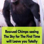 Rescued Chimps Got a new Life