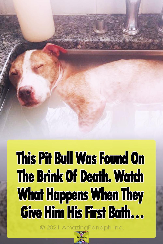 animals, rescue, pets, dogs, pitbull, bath, precious, adoption,