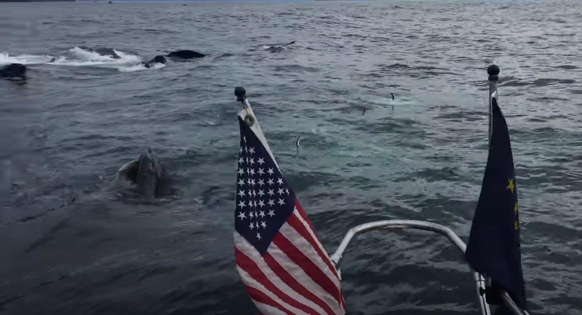 Humpback Whales, Feeding, Seward Alaska, Ressurection Bay, Brad Rich, Tony Flanders, Jenna Rich, Shelia Somahkawahho