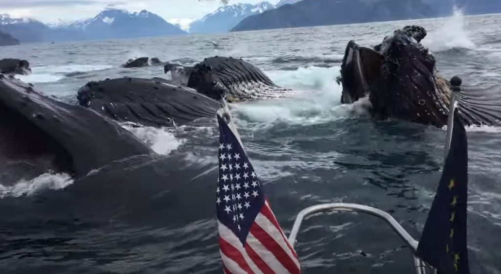 Humpback Whales, Feeding, Seward Alaska, Ressurection Bay, Brad Rich, Tony Flanders, Jenna Rich, Shelia Somahkawahho