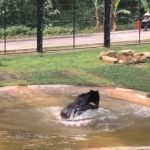 Animals Asia, moon bear, bear bile farming, vietnam,bear,animals rescue,rescue,save animals,save,human being