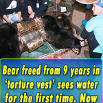 Bear freed from 9 years in 'torture vest' sees water for the first time. Now watch what he does…
