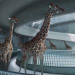 When nobody was watching, these giraffes walked over to a swimming pool and began doing THIS — OMG!